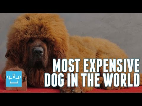Most Expensive Dog In The World: Tibetan Mastiff