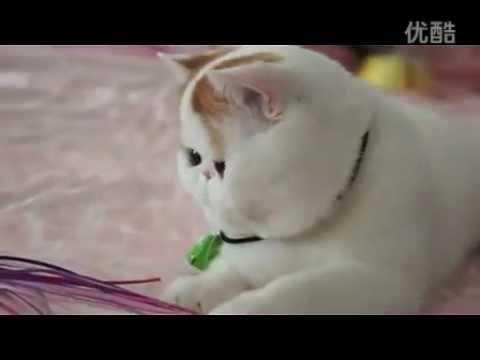 Экзот: фото, видео, описание породы, характер. Кошка породы .