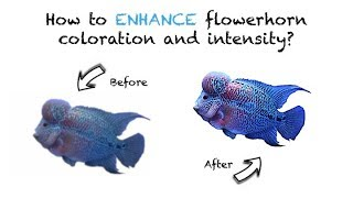 FLOWERHORN: How to Enhance Coloration and Intensity