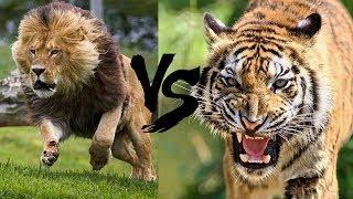 LEUL IMPOTRIVA TIGRULUI! LEU VS TIGRU! TOP BATALII FIOROASE INTRE ANIMALE ... CINE E MAI P ...