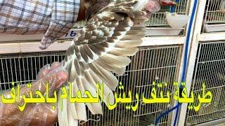 -أسهل طريقة لنتف ريش الطيور والحمام.\ضفها إلى معلوماتك في مجال تربية الحمام والطيور.