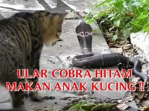 Makanan Bayi Harimau Akar