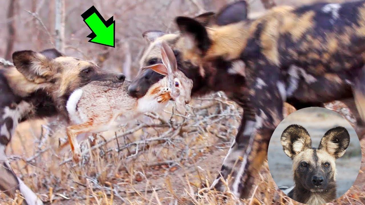 EL PODER DE LOS PERROS SALVAJES, El mejor cazador del reino animal