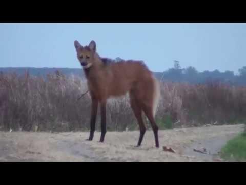 Вопрос: Тасманийский волк. Что и нём известно?