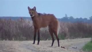 Гривистый волк!!!Редкие животные!!!