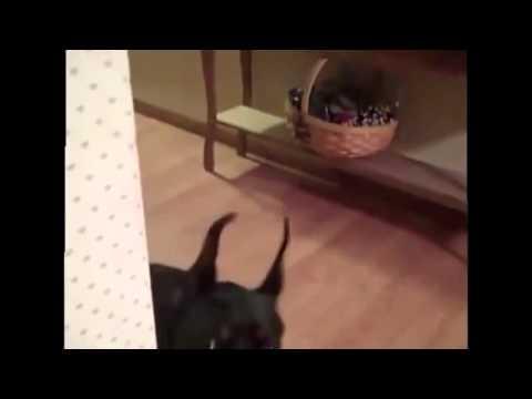 Как собака собирается на дачу видео