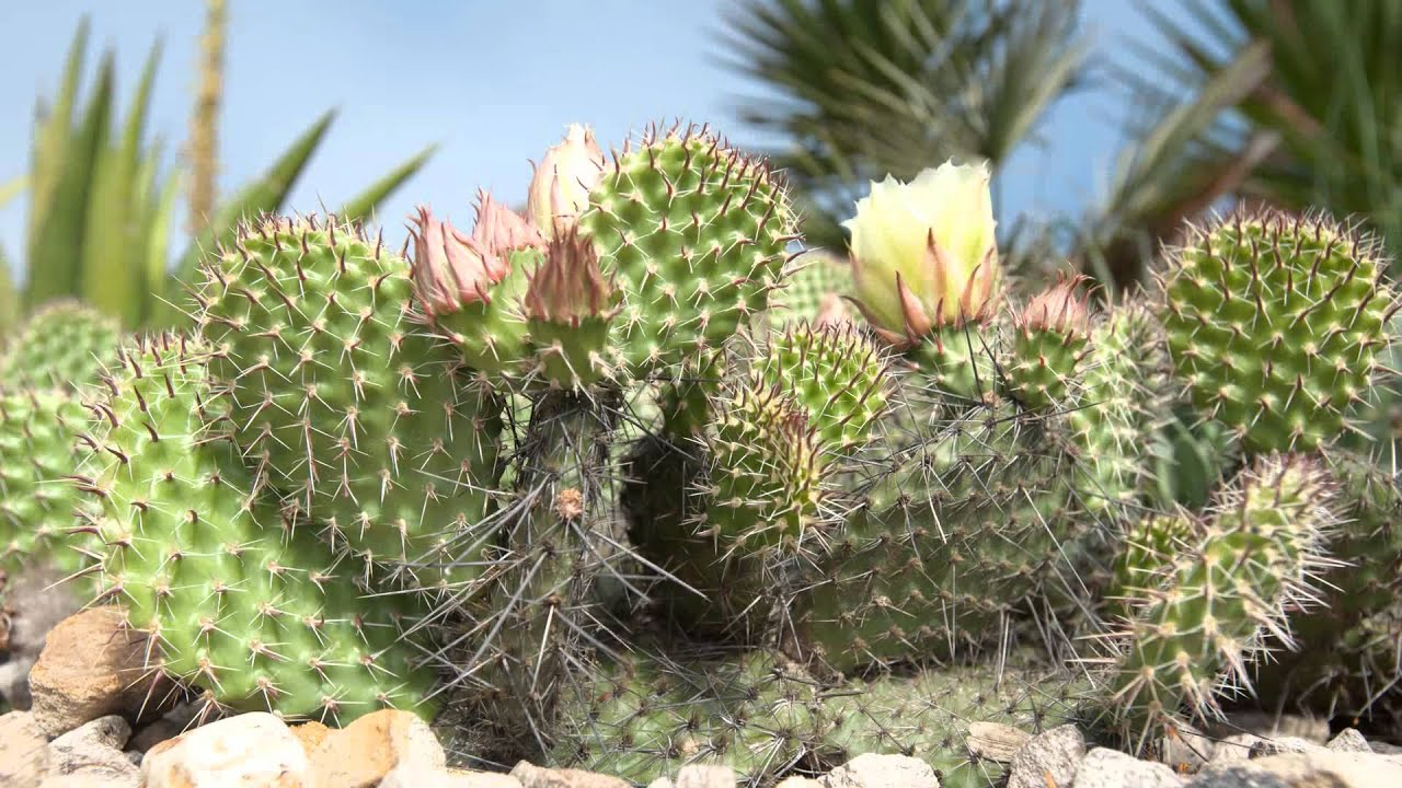 how to get rid of prickly pear cactus