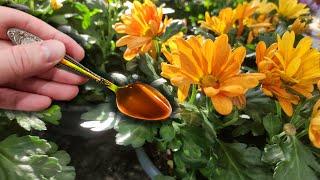 Почему я раньше не поливал этим цветы, так пышно никогда не цвели!