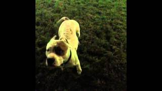 Собака питбуль красавчик(Питбуль собака красавчик., 2015-12-31T15:10:11.000Z)
