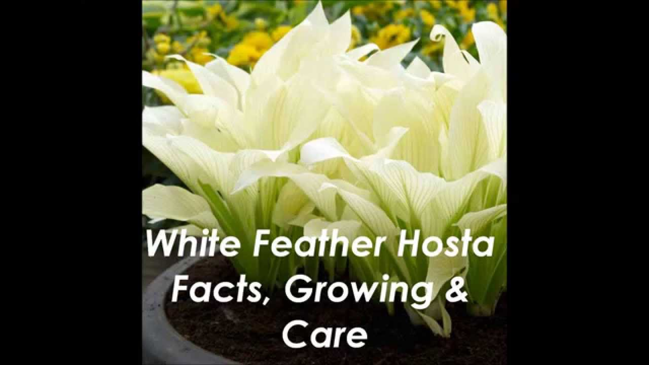 White Feather Hosta Youtube