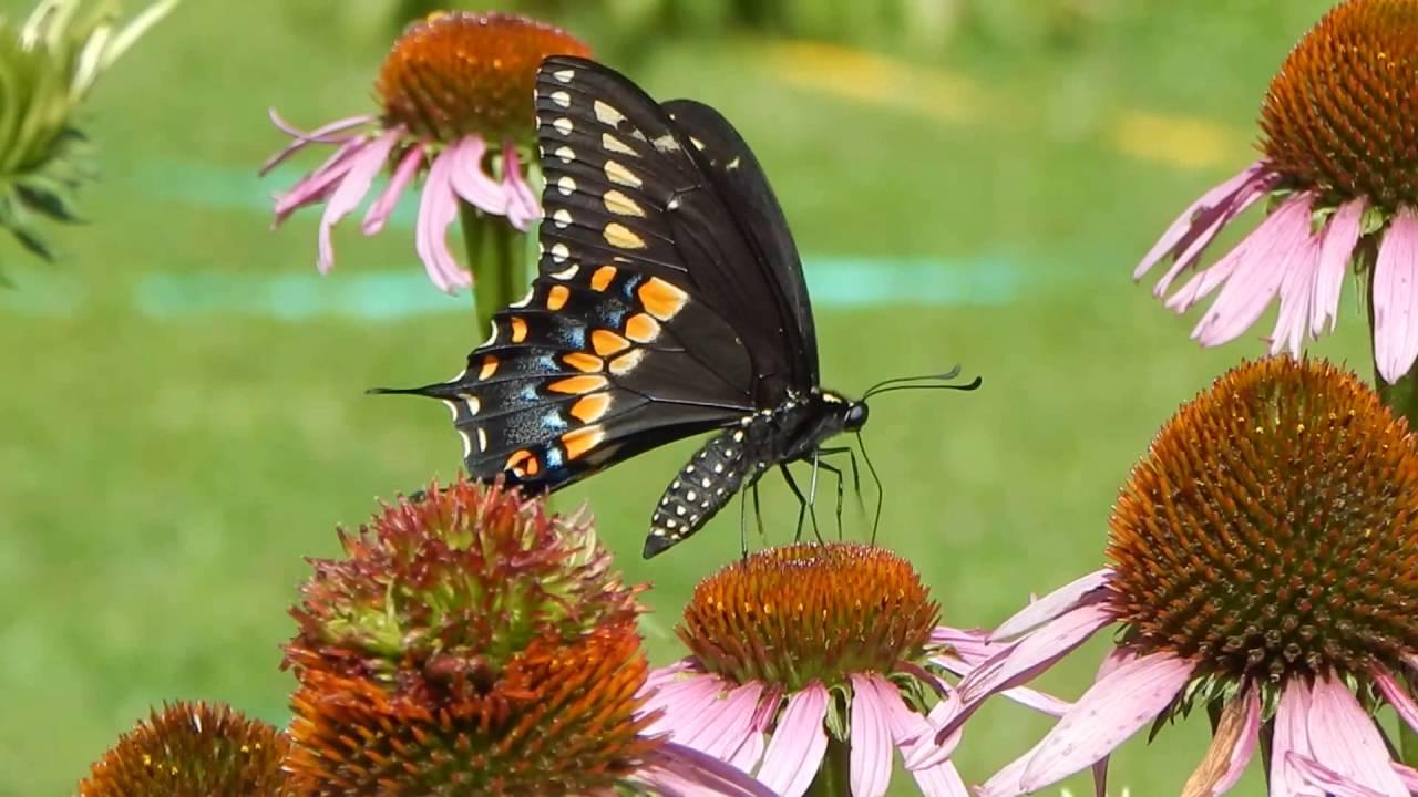 Eastern Black Swallowtail Butterfly - YouTube