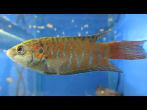 Макропод - Аквариумная Рыбка Содержание и Уход