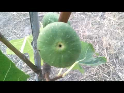 Brown Turkey Fig.