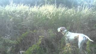 English Pointer is hunting the Pheasants...