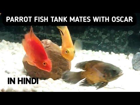 Parrot Fish Tank Mates With Oscar||parrot Fish Tankmates