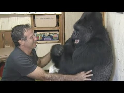 Koko the Gorilla's Best Moments: From Sign Language to Meeting Mister Rogers