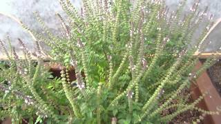 Bee Loving Plants: Plants that Attract Honey Bees