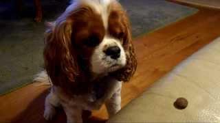 Dog Breaks Eating Record - Cavalier King Charles Spaniel