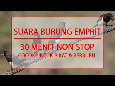MASTER SUARA BURUNG EMPRIT - COCOK UNTUK PIKAT DAN BERBURU - DURASI 30 MENIT