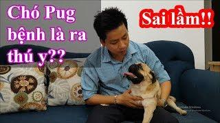 Nguyên nhân gây ra bệnh Carre Pravo cho chó Pug con? Thói quen sai lầm gây chết chó con