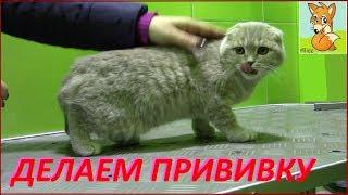 Прививка котенку! Ведём шотландского вислоухого котёнка к ветеринару в клинику для животных