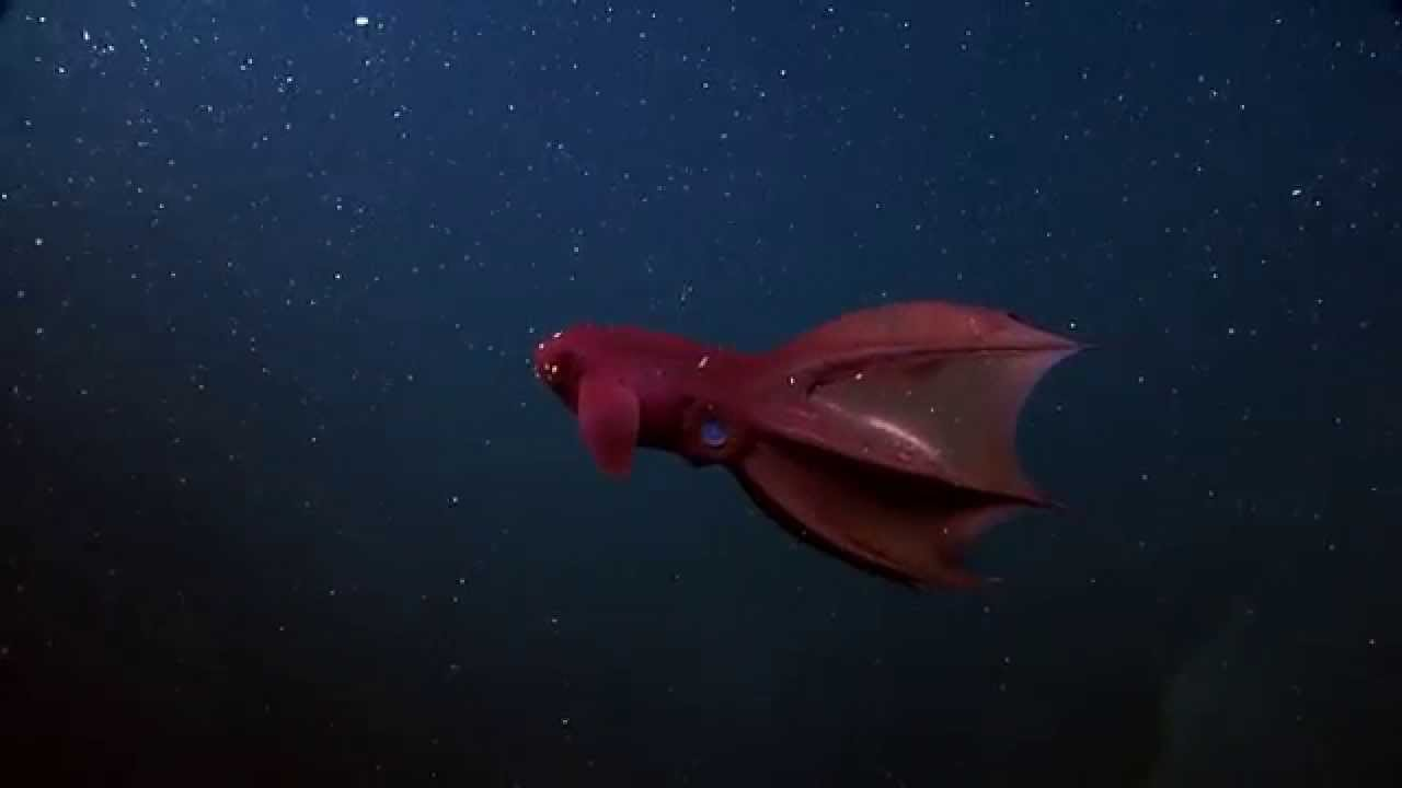 Image result for Vampire Squid