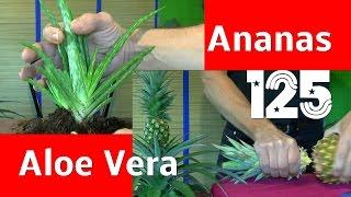 Ananas Und Aloe Vera Vermehren Ganz Einfach Gesund Und Lecker