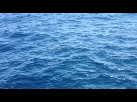 Dolphins crossing the Straits of Gibraltar