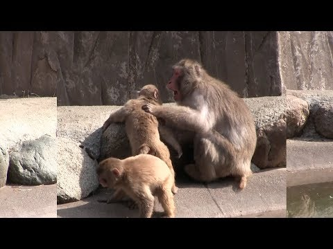 Mama monkey gets angry. Baby Monkey Video