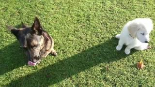 Golden Retriever: Luna & Maya (5)