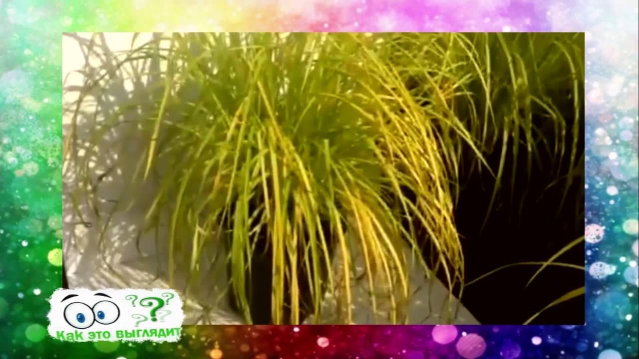 Как выглядит трава Осока - YouTube