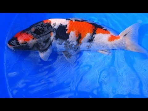 Quality japanese koi jumbo showa koi fish varieties from for Koi fish varieties