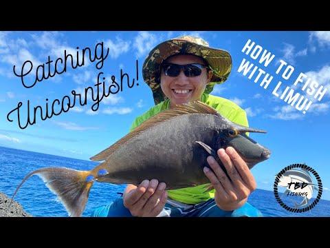 Catching Hawaiian Unicornfish! How To Limu  Fish In Hawaii