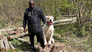 American Bull dog woodland protection training