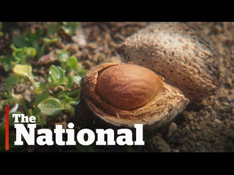 How the high demand for almonds is affecting California
