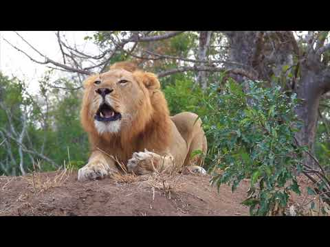 Morning Lion Roar - YouTube - photo#8