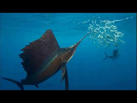 Facts: The Sailfish