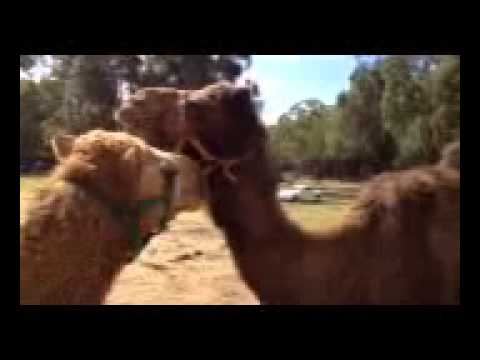 Zapped while talking to camels