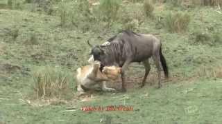 Lion kills a wildebeest, Maasai Mara, Kenya, 2014