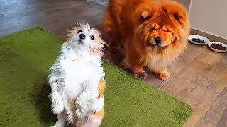 😍Очень смешные собаки. Ася и Руша. Very funny dogs. Asya and Rush.