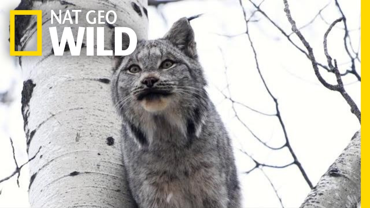 Two Lynx Cats Scream At Each Other Can You Stand It Nat Geo Wild Youtube