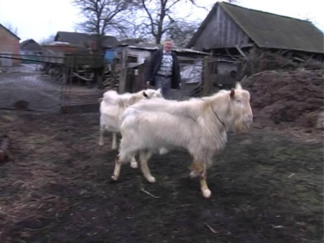 Фермири козів відео фото 696-149