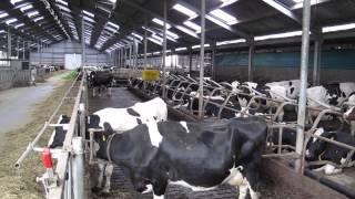 Dutch dairy farming
