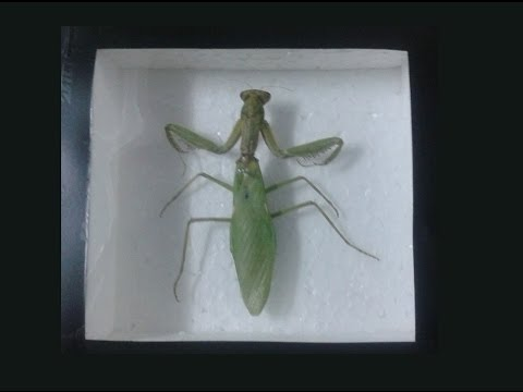 How to Pin and Frame an Insect for collection