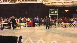 Cleveland Dog Show Mastiff Bitch Bbe Class Sat. 2012