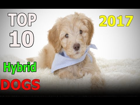 Top 10 hybrid dogs in the World 2017 | Top 10 animals