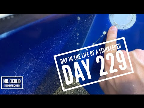 Day 229:  Day In The Life Of A Fishkeeper | Cunningham Cichlids