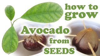 Growing Avocado Tree From Seed -  How To Grow Hass Avacado Plant - Fruit Trees Fresh Fruits Jazevox