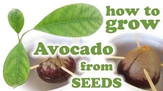Growing Avocado Tree From Seed - How To Grow Hass Avacado Plant - Fruit Trees Fresh Fruits Jazevox