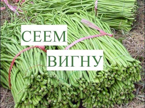 Вигна овощная: выращивание китайской спаржевой фасоли